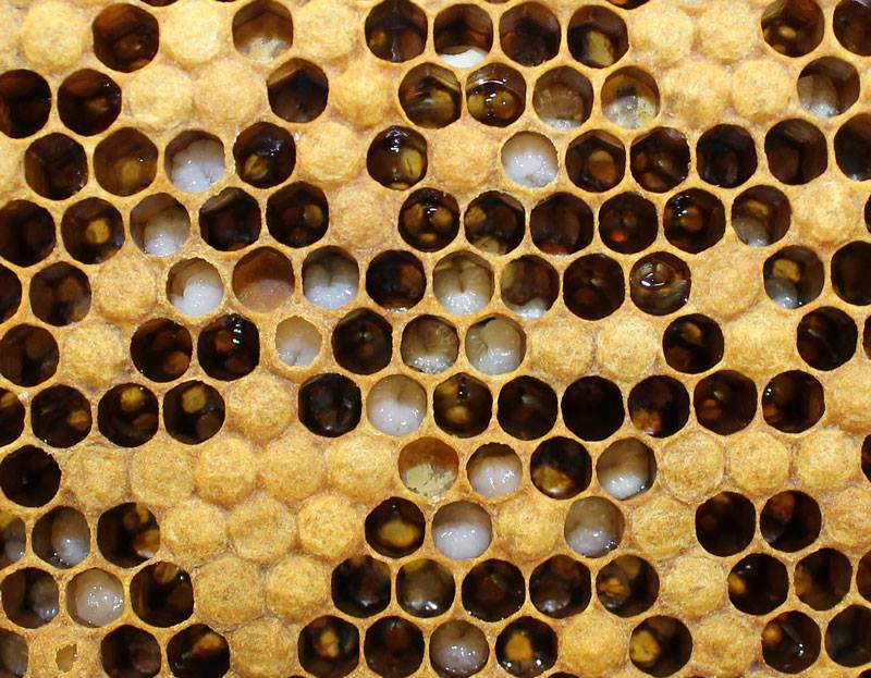 Honey bee larvae.