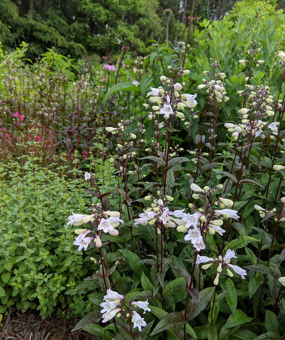 Beardtongue with other perennials.