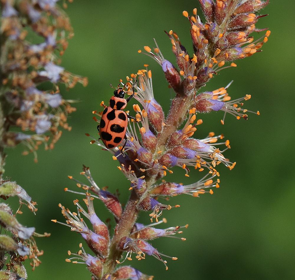 Pink spotted lady beetle on dwarf indigo bush.