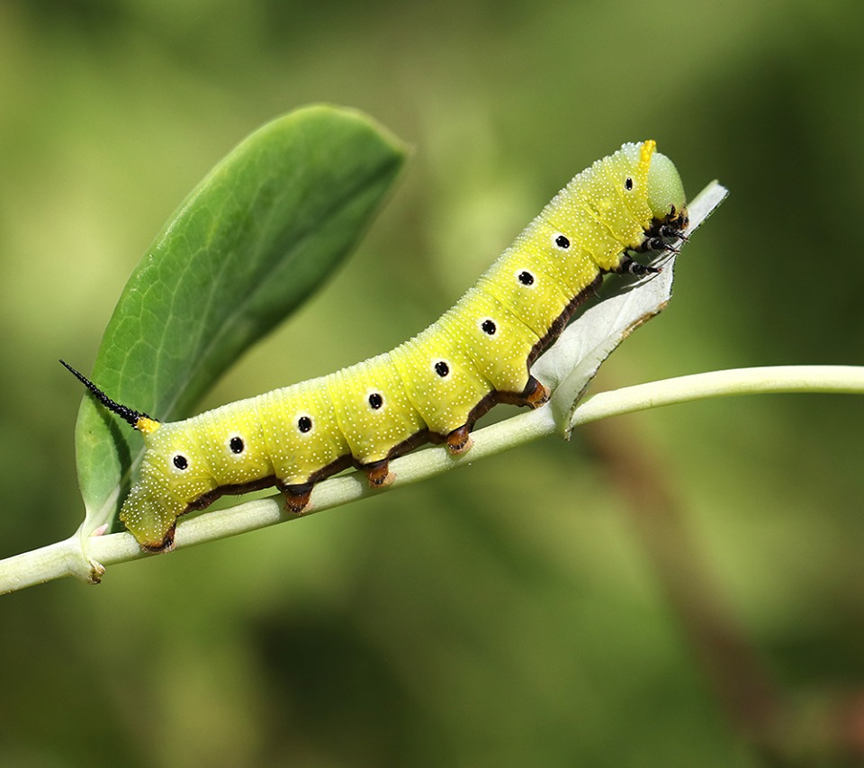 Snowberry clearwing moth caterpillar on honeysuckle.
