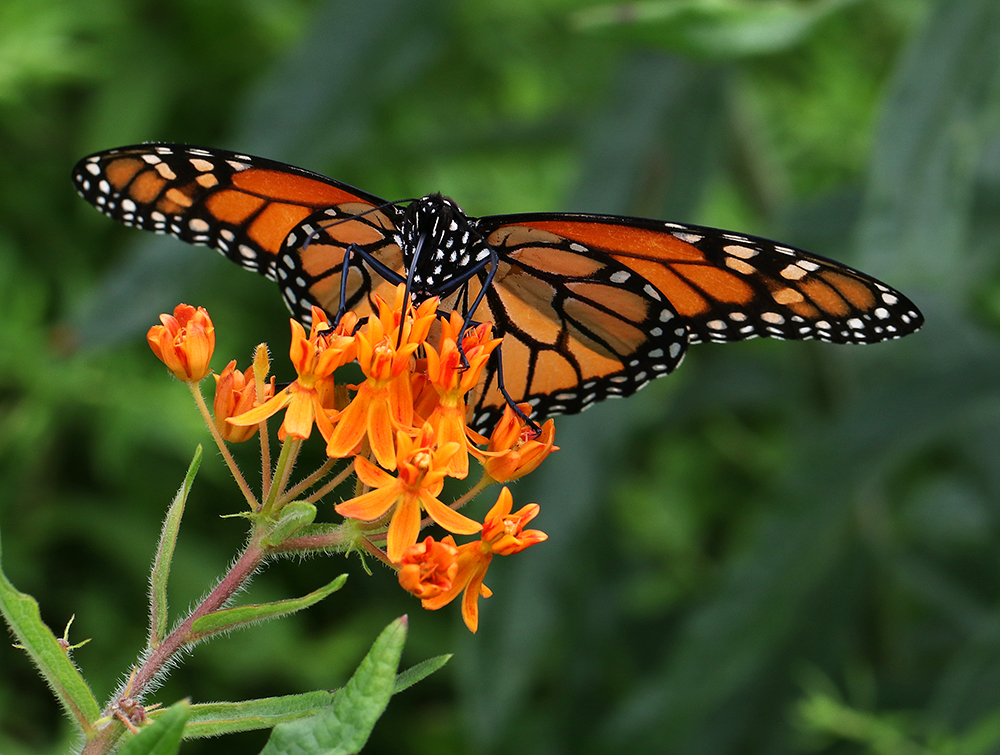 Monarch nectaring on butterfly weed in mid-June.