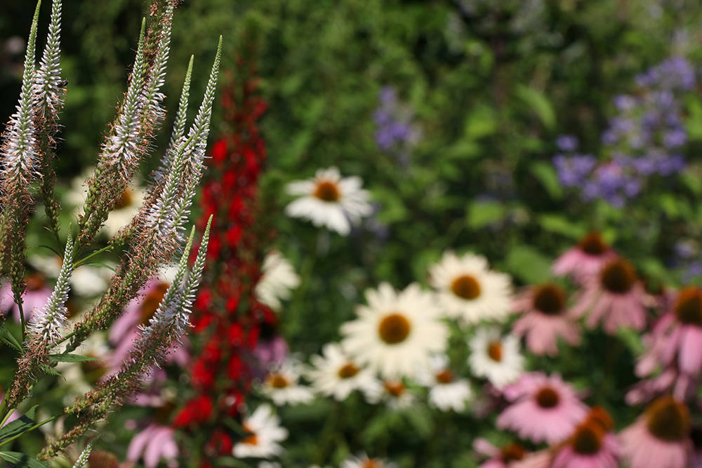 July 4th in the pollinator garden with culver's root, cardinal flower, coneflowers, and downy skullcap.