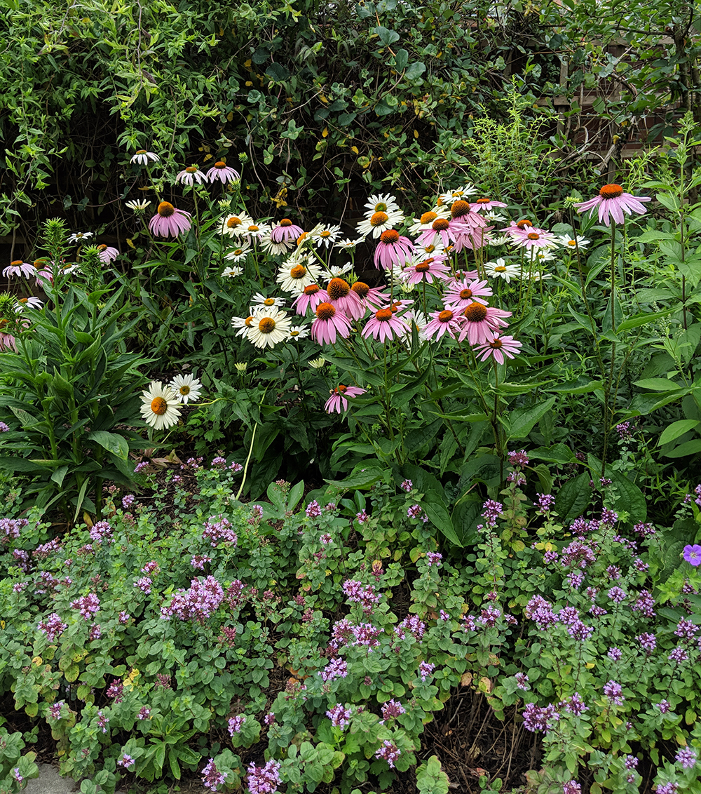 Coneflowers and ornamental oregano.