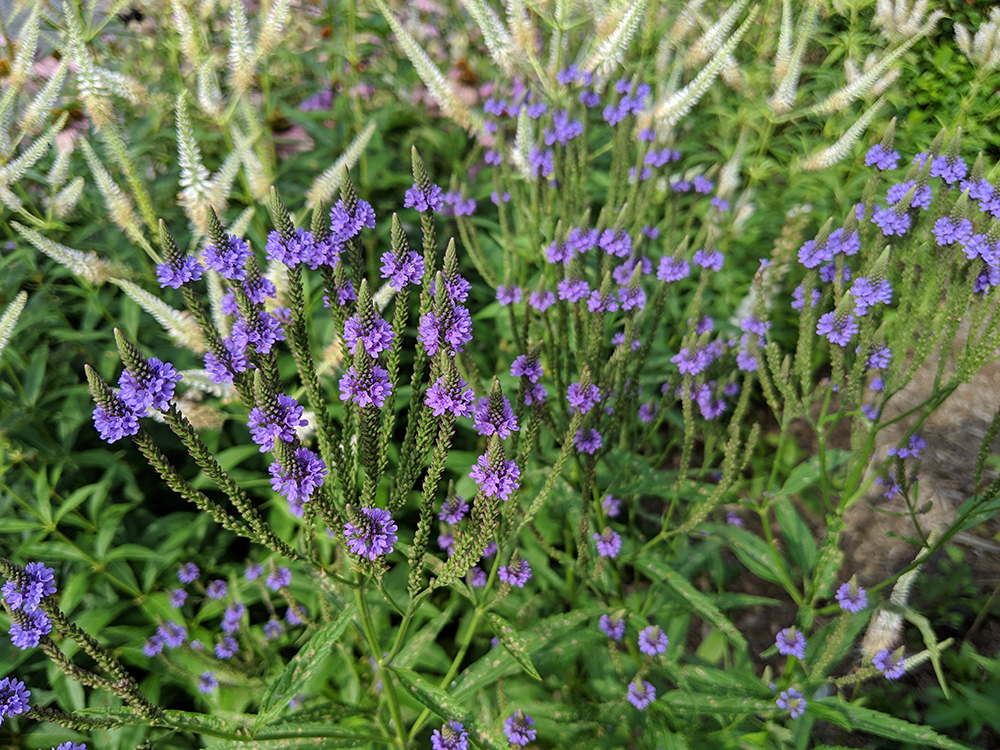 Blue vervain and culver's root.