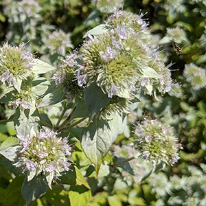Loomis' mountain mint
