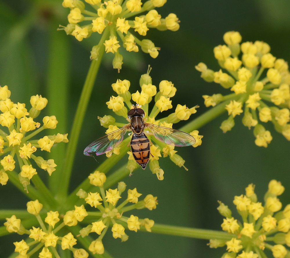 Tiny syrphid fly on golden alexander (Zizia aurea) in early May.
