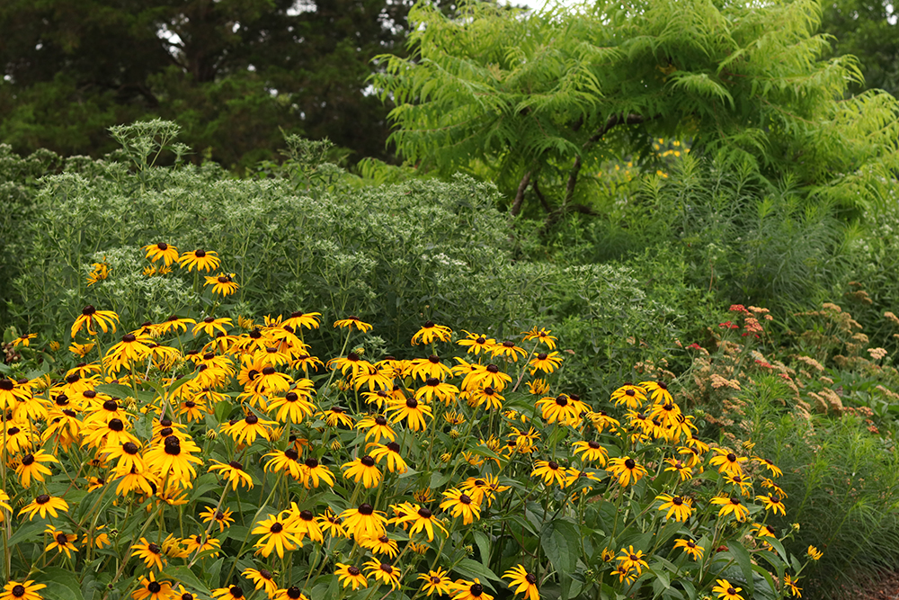 Early June in the pollinator garden: orange coneflower, mountain mint, yarrow, and staghorn sumac.
