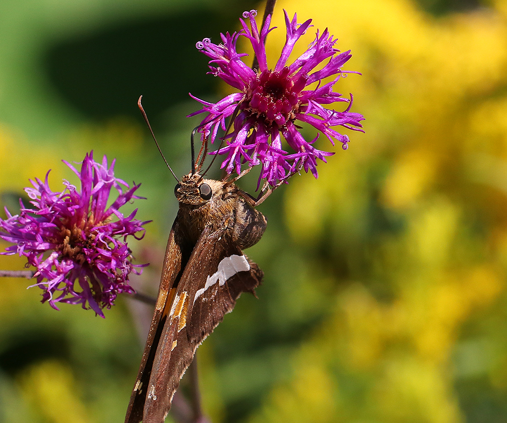 Silver-spotted skipper on stemless ironweed.