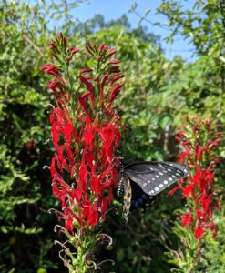 The black swallowtails were all over the cardinal flower in the pollinator garden!