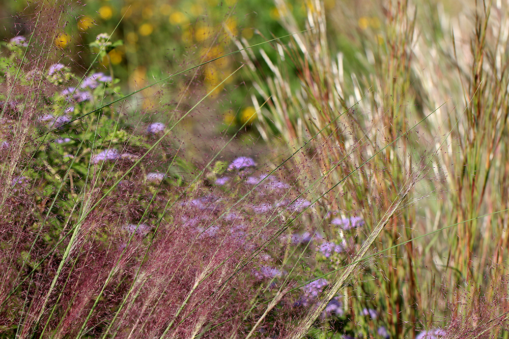 Late September: I love this time of year when the native grasses bloom: muhly grass, splitbeard bluestem, wild ageratum, and green-headed coneflower.