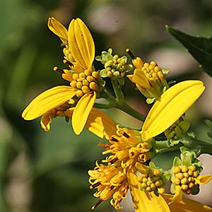 Yellow crownbeard