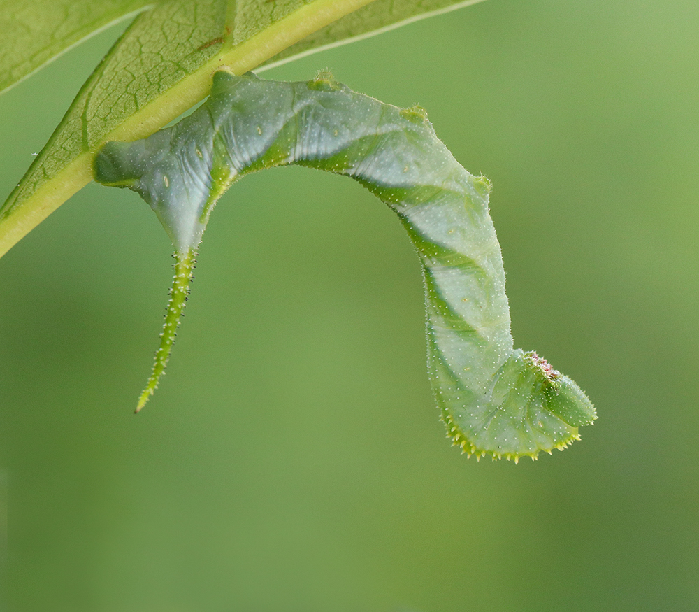 Rustic sphinx moth caterpillar on native fringetree in early July.