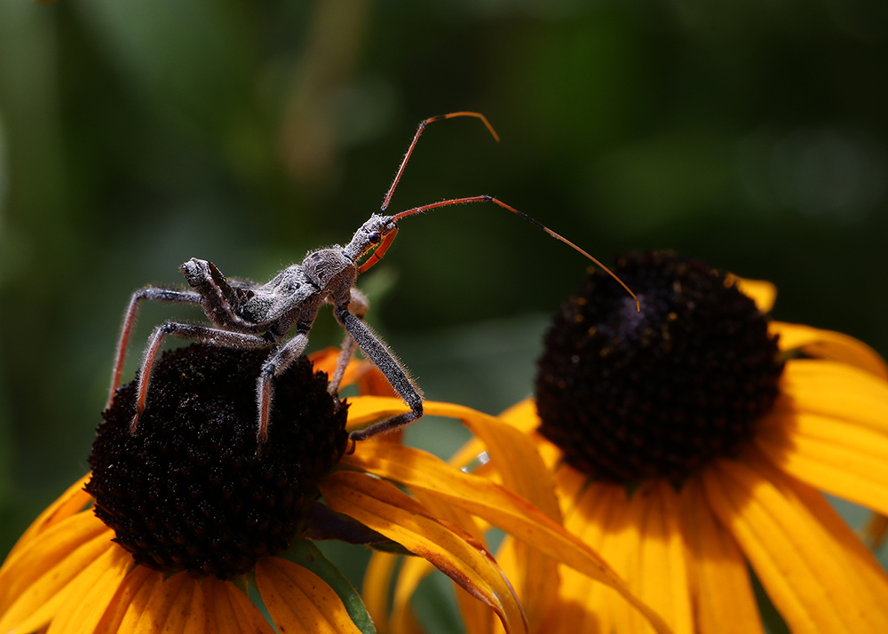 Wheel bug nymph searching for prey on the orange coneflower in early July.