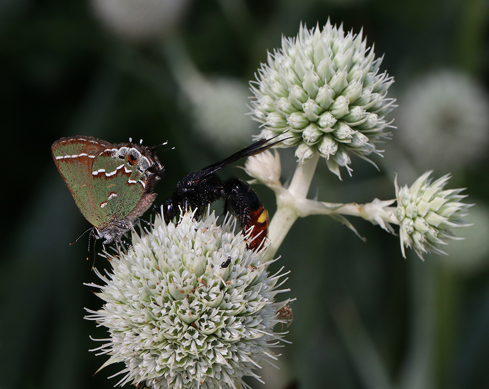 A juniper hairstreak forages next to a scoliid wasp on a rattlesnake master bloom in late July.