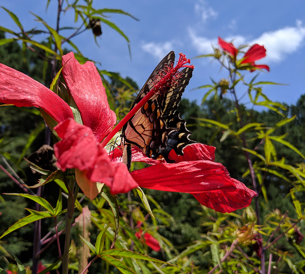 Tiger swallowtail on red rose mallow in late July.