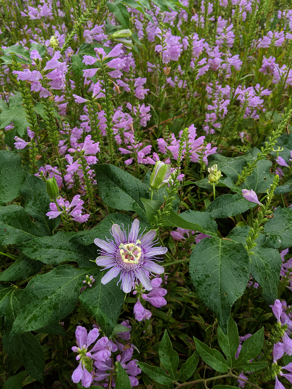 purple passionflower and obedient plant.