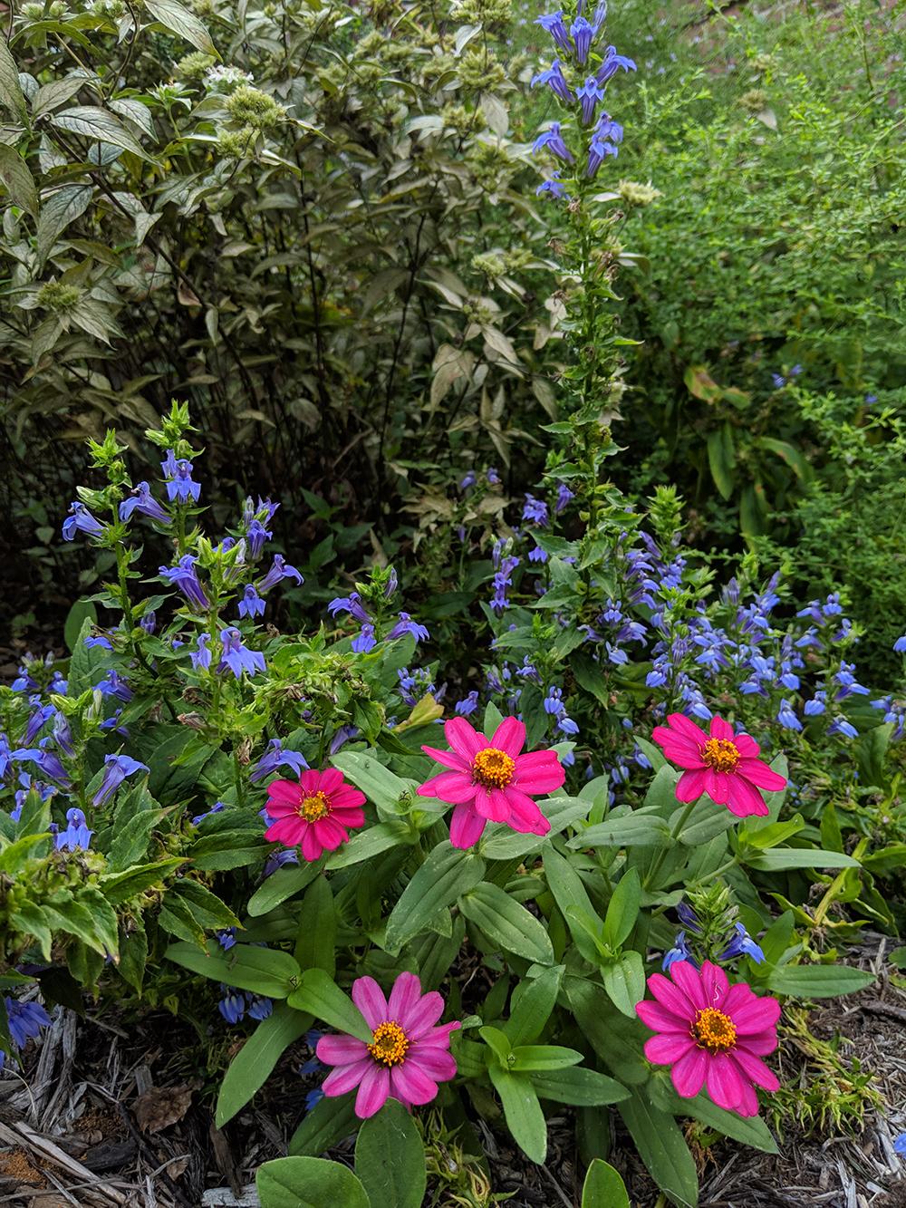 Cherry Profusion zinnias looks so good with great blue lobelia in mid-September.
