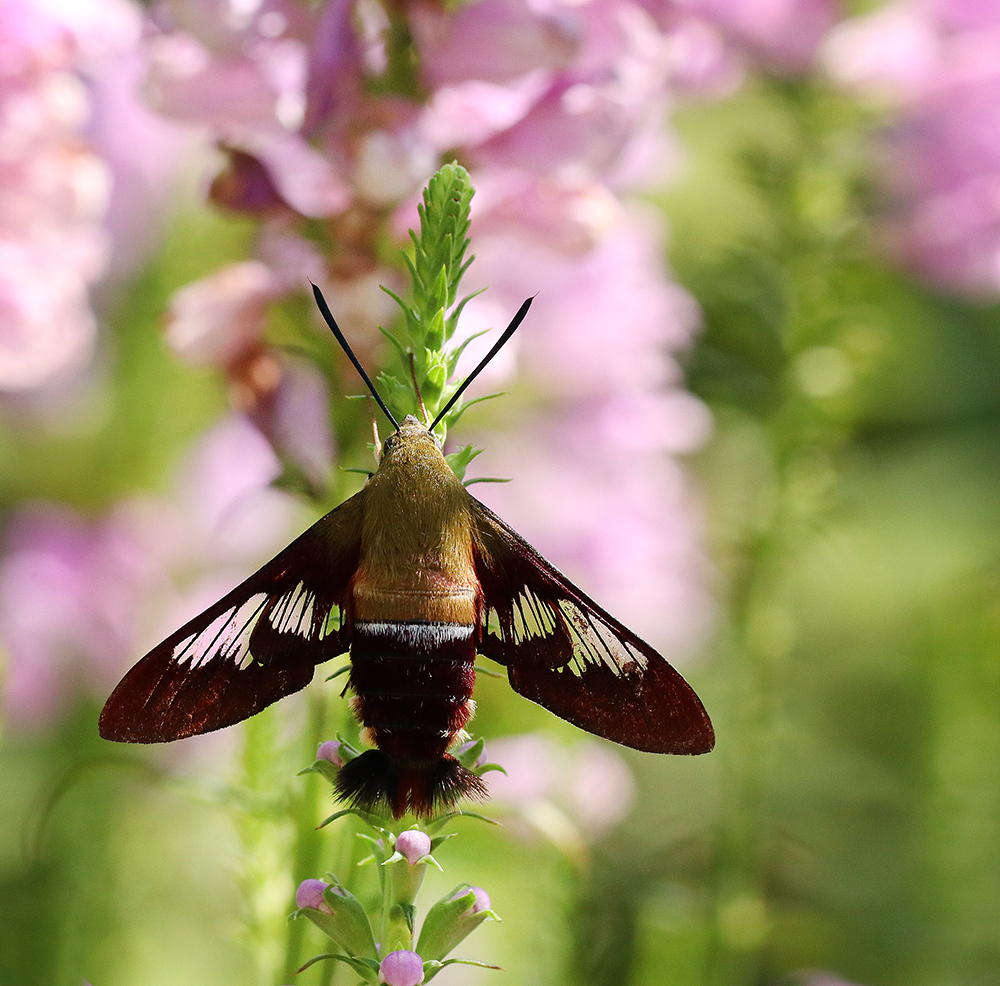 Hummingbird clearwing moth on obedient plant in late July.