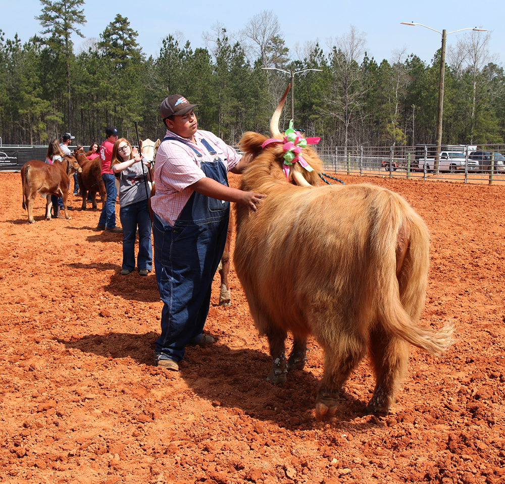 4-H Cattle Parade of Breeds.