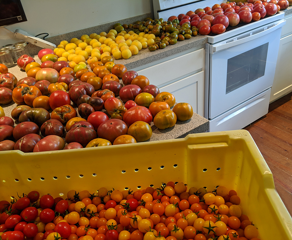 harvested tomatoes sorted by variety