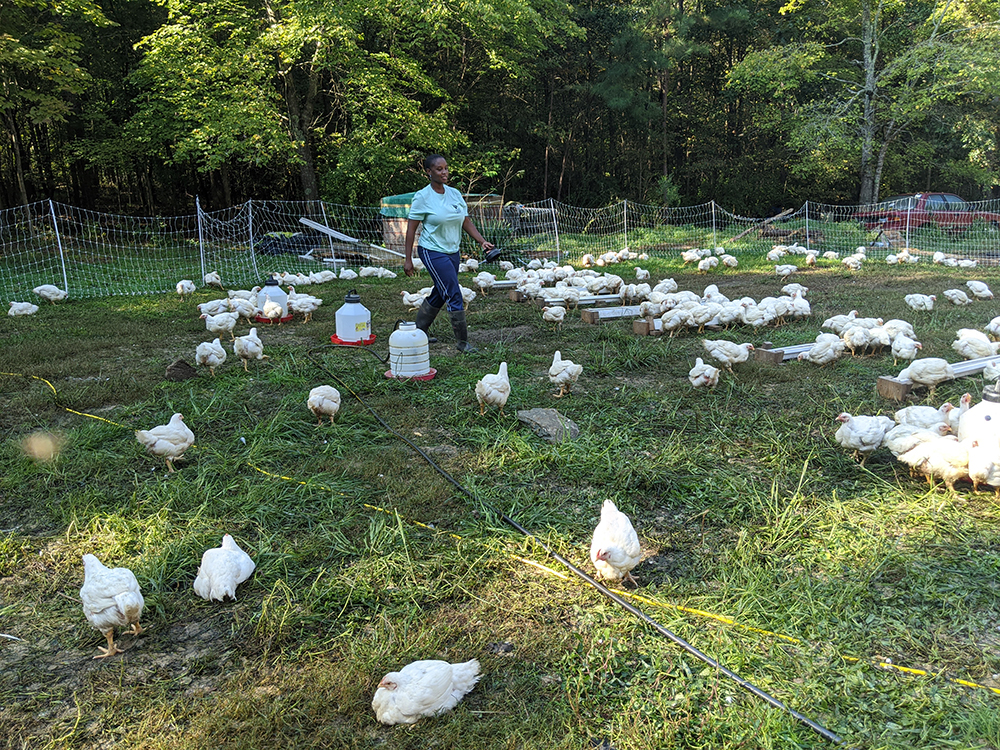 Chantel raises Cornish Cross chickens outdoors