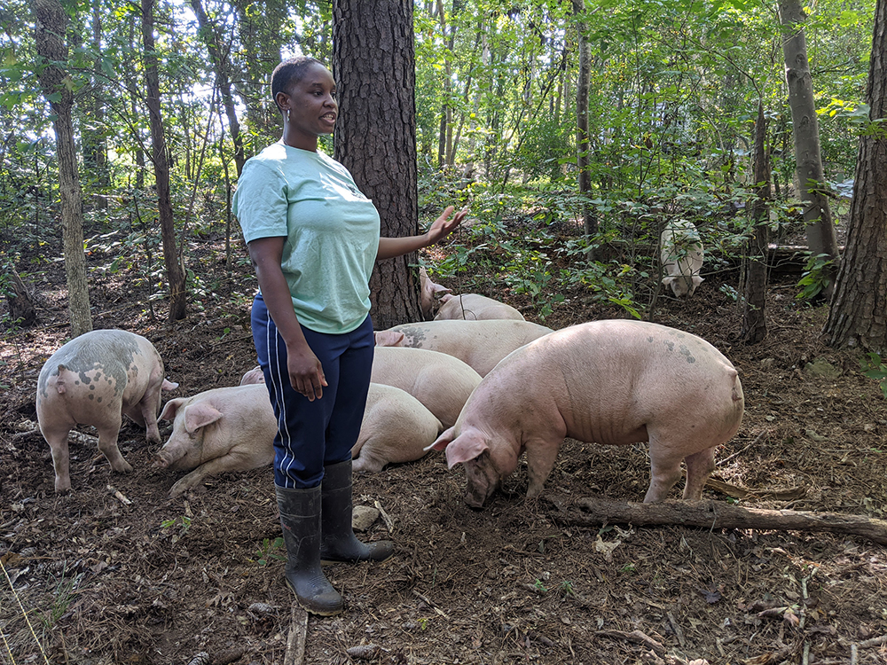 Woman working with pigs