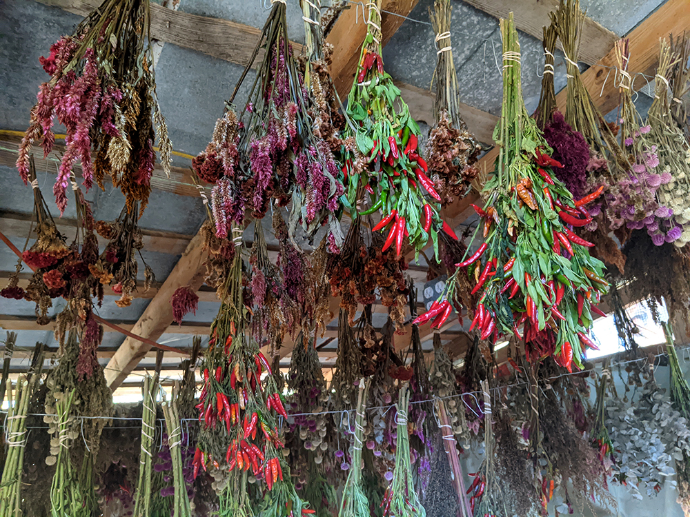 Flowers and rooster peppers drying in the shed