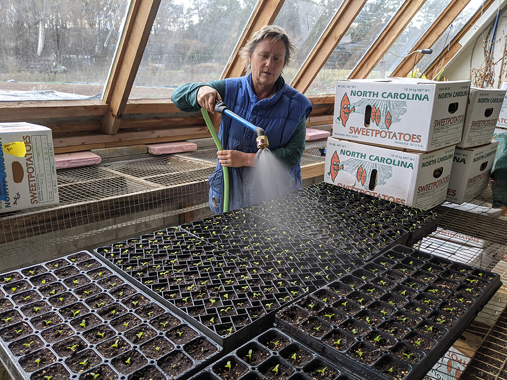 Watering some lettuce seedlings in the greenhouse
