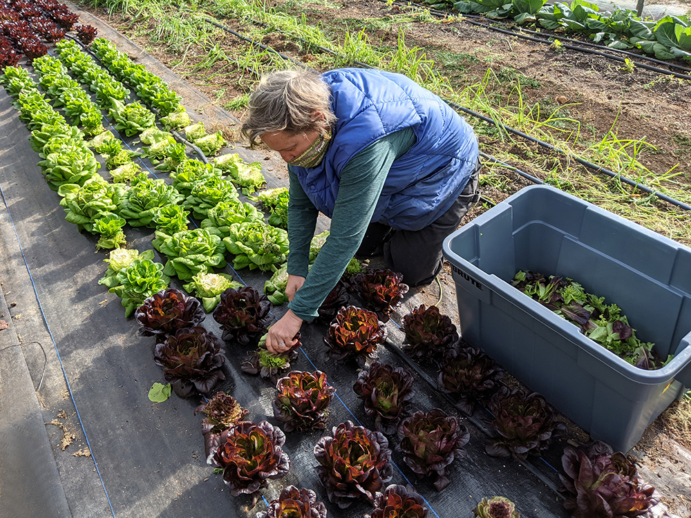 Meredith harvests lettuce in the high tunnel