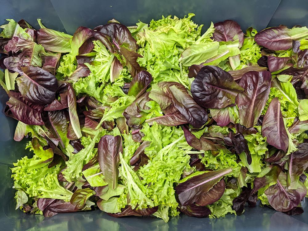 Gorgeous Salanova lettuce greens