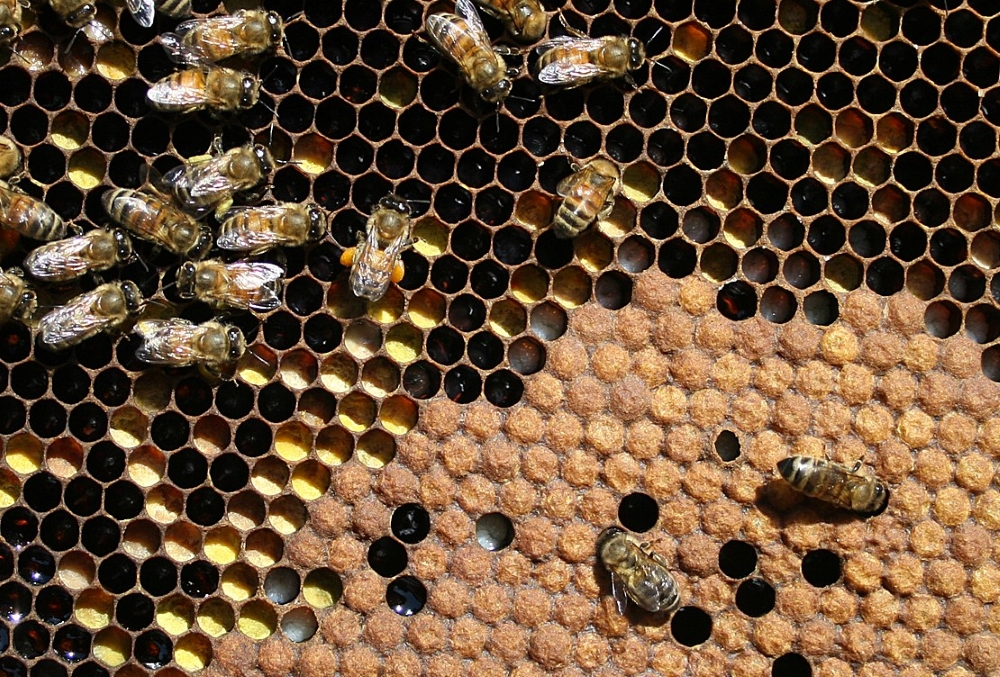 Honey bee frame with adults, larvae, and capped brood