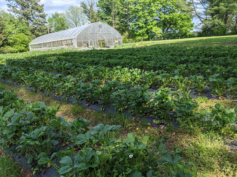 PYO strawberry field at Chatham Oaks Farm