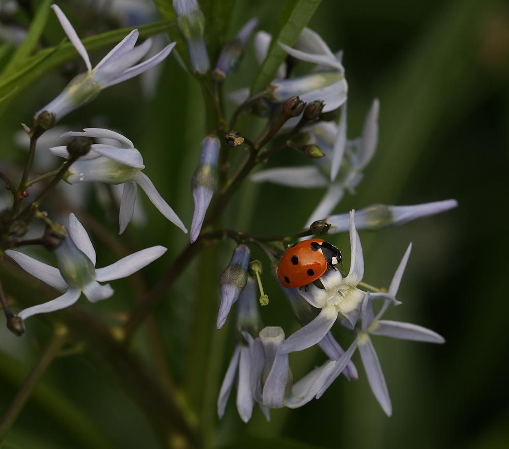Lady beetle on bluestar