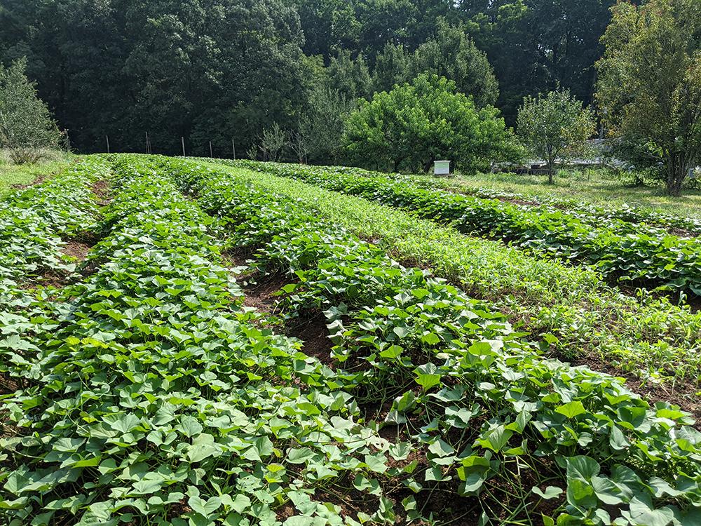Sweetpotato field