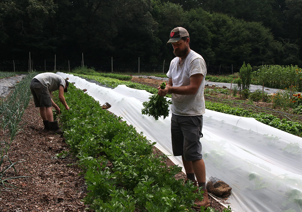 Two men harvesting celery