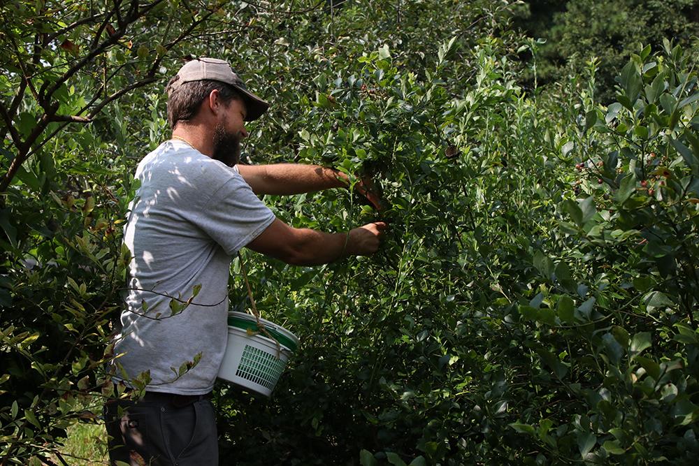 Man harvesting blueberries