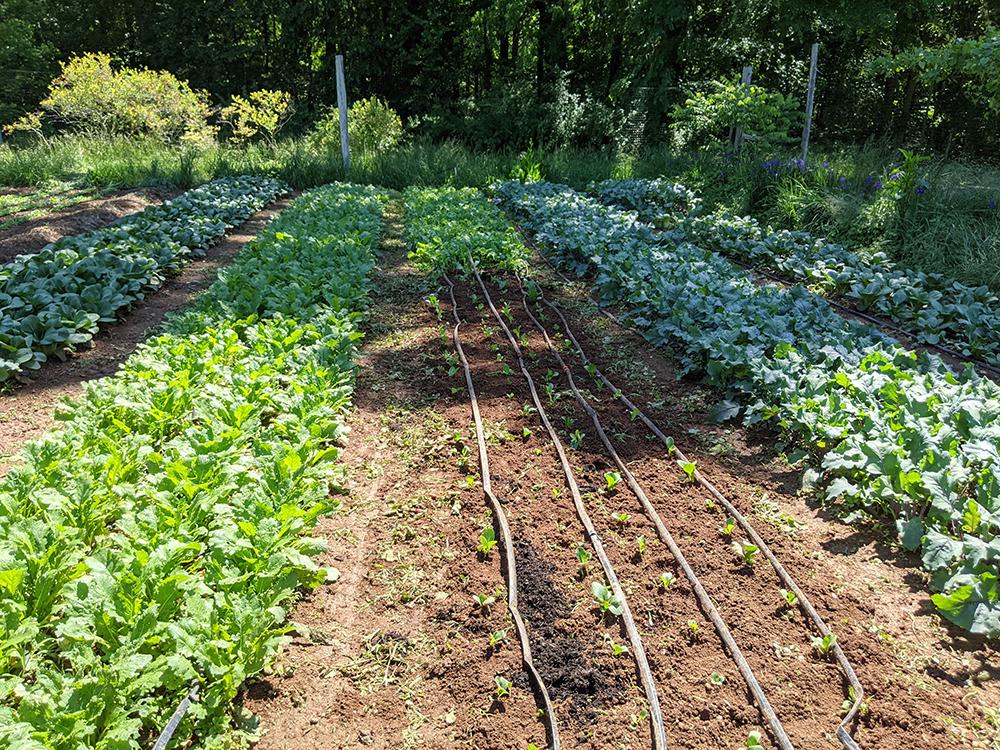 Crops in garden