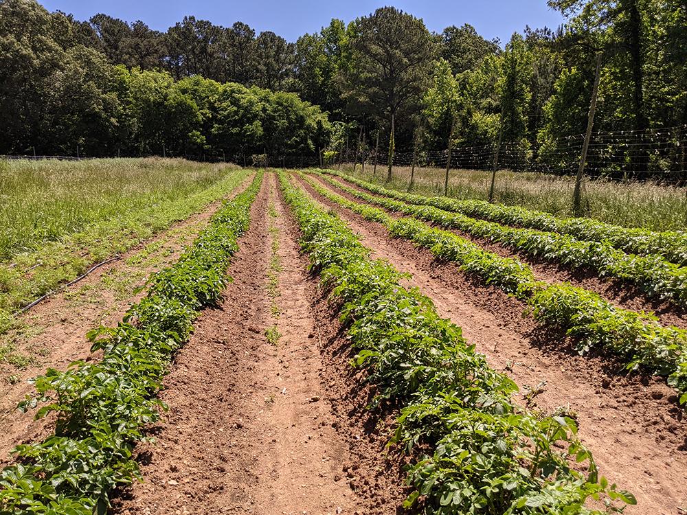 Potato crops in field