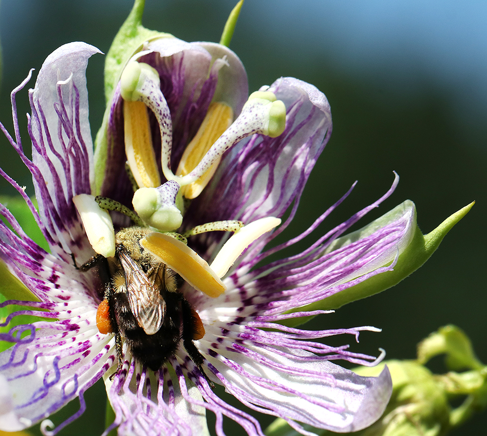 Bumble bee on purple passionflower