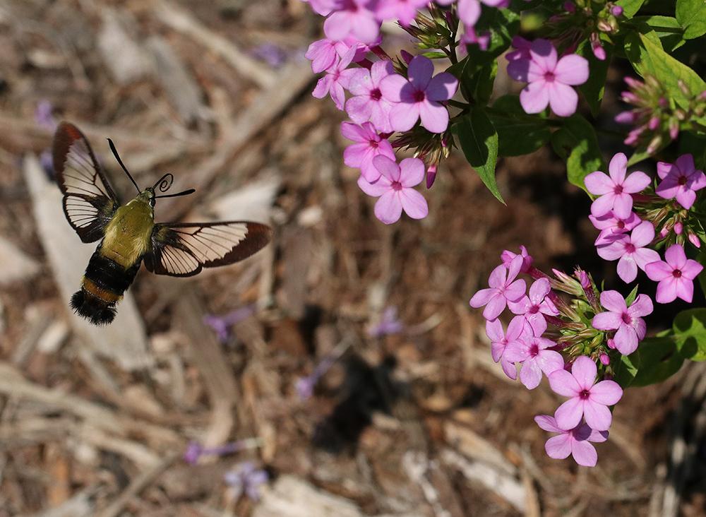 Hummingbird moth on 'Jeana' garden phlox