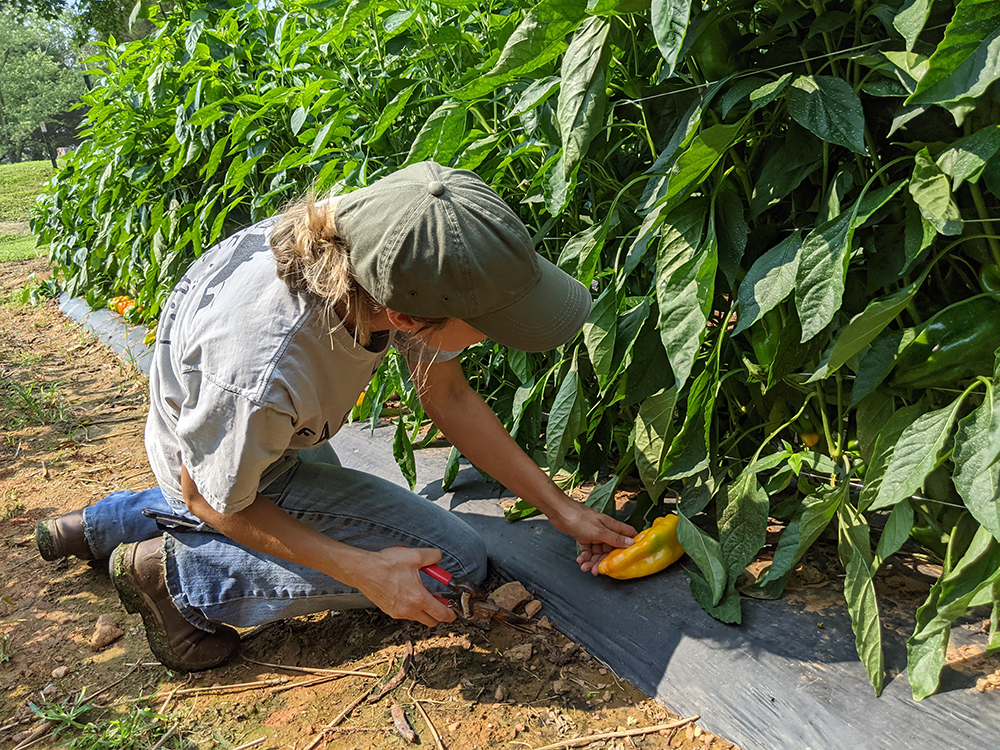 Woman picking peppers