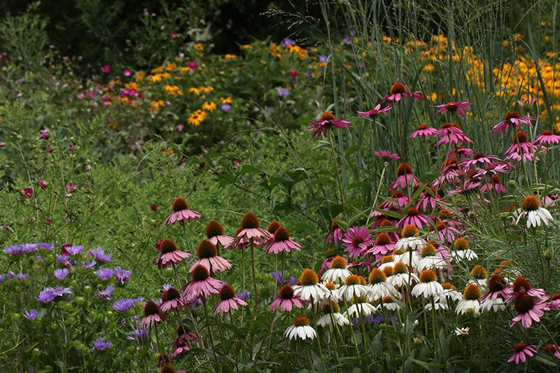 Native plant perennial garden